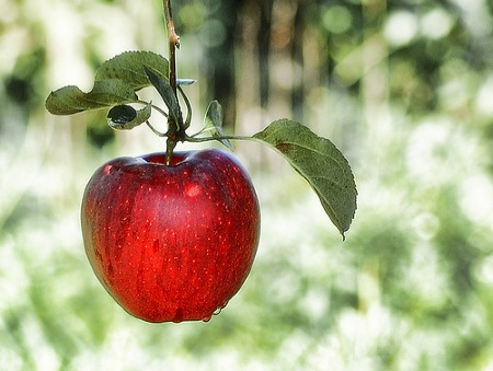 the-forbiden-fruite