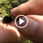 A Video of a Guy Saving an Exhausted Bumblebee will RESTORE your Faith in Humanity!_0000_videoPlayButton copy