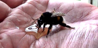 guy-saving-an-exhausted-bumblebee-restore-your-faith-in-humanity