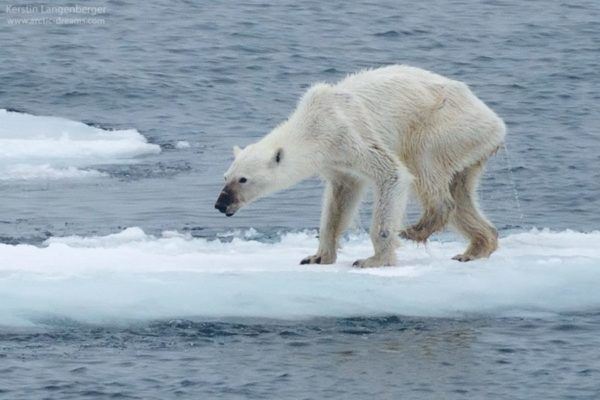 Starving Polar Bear On Melting Ice