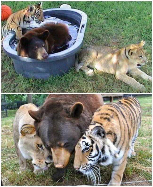 Baloo, Leo, and Shere Khan
