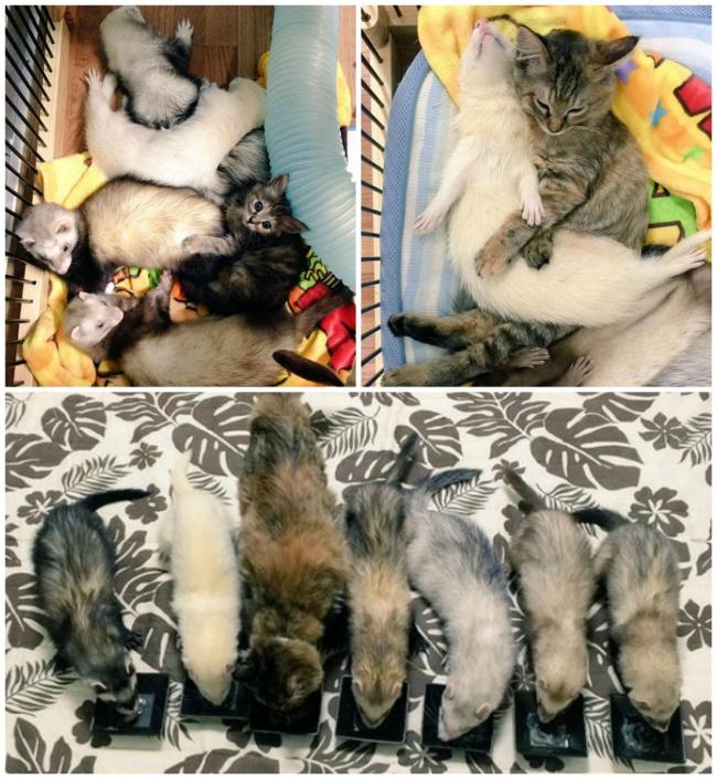 Cat Komari and ferrets