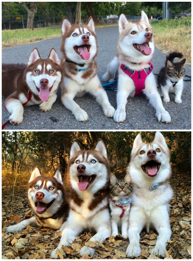 Cat Rosie and her Huskies
