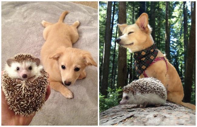 Hedgehog Biddy and dog Charlie