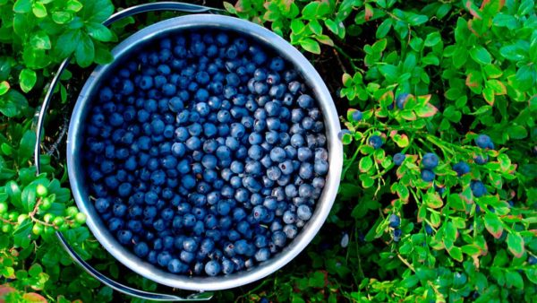 How To Make Your Own Unlimited Supply Of Blueberries