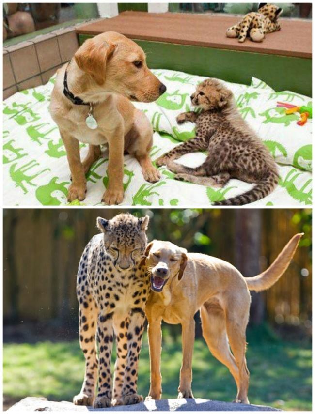 Kasi the cheetah and Mtani the Labrador