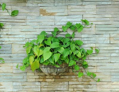 MONEY PLANT (EPIPREMNUM AUREUM)