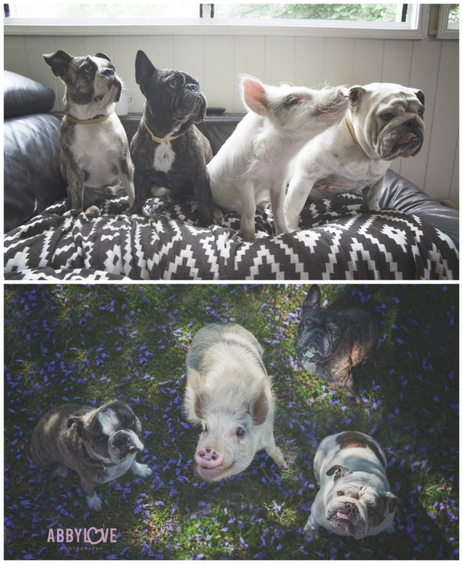 Miniature pig Olive, two bulldogs, and a Boston terrier