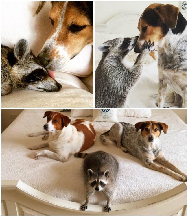 Pumpkin the raccoon and her dog friends