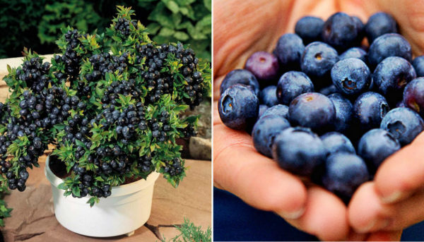 Blueberries How To Make Your Own Unlimited Supply