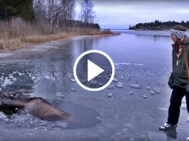Moose Falls Through Ice Woman Rescue It