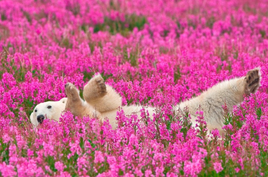 I am a Pink Bear