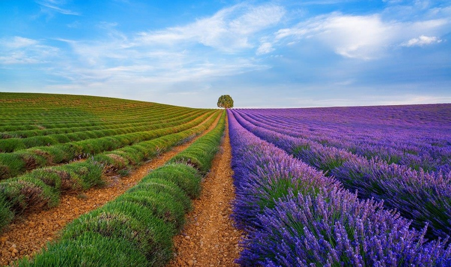 Magnificent is the word Lavender Fields, Provence